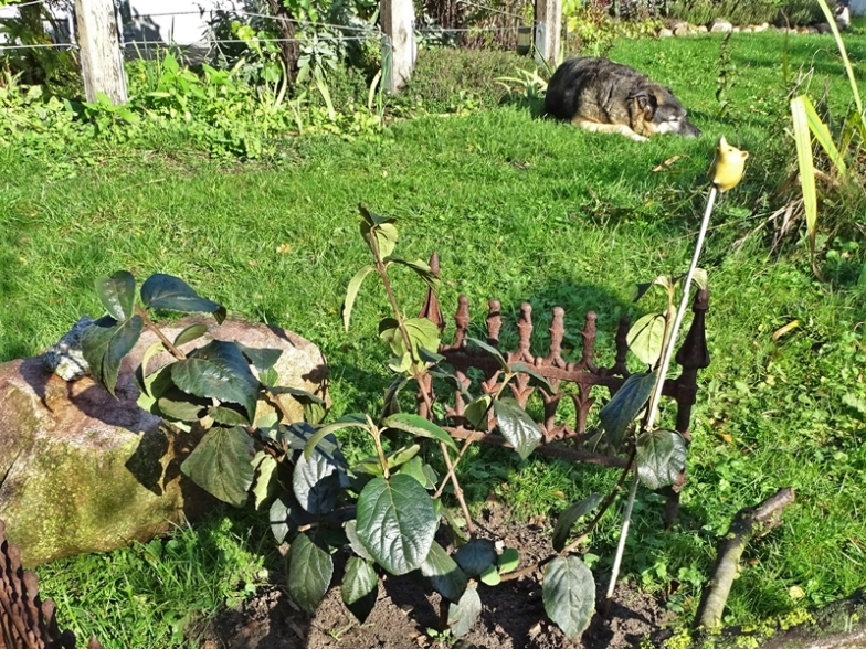 2019-10-02 LüchowSss Garten Burkwood-Schneeball (Viburnum x burkwoodii) mit Bongo im Hintergrund (1)