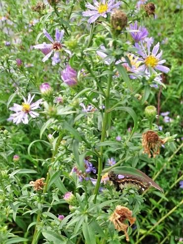2019-10-08 LüchowSss Garten Ampfer-Rindeneulen-Raupe (Acronicta rumicis) an Glattblattastern (Aster novi-belgii) (1)