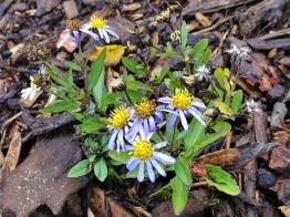 2019-10-08 LüchowSss Garten Aster ageratoides var. adustus 'Nanus'