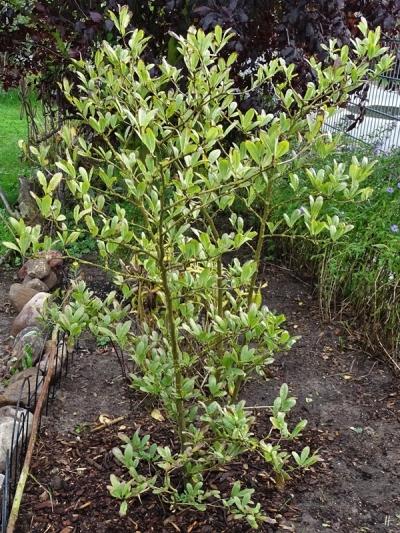 2019-10-08 LüchowSss Garten Magnolia neu gepflanzt im September (1)