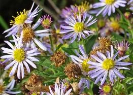 2019-10-11 LüchowSss Garten Asiatische Wildastern (Aster ageratoides) 'Asran' (1)