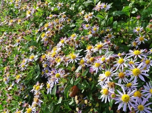 2019-10-11 LüchowSss Garten Asiatische Wildastern (Aster ageratoides) 'Asran' (2)