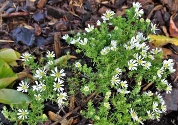 2019-10-11 LüchowSss Garten Aster pansus 'Snowflurry' (2)