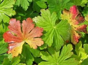 2019-10-11 LüchowSss Garten Balkan-Storchenschnabel (Geranium macrorrhizum)