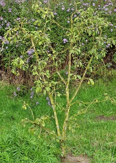 2019-10-11 LüchowSss Garten Faulbaum (Rhamnus frangula) (2)