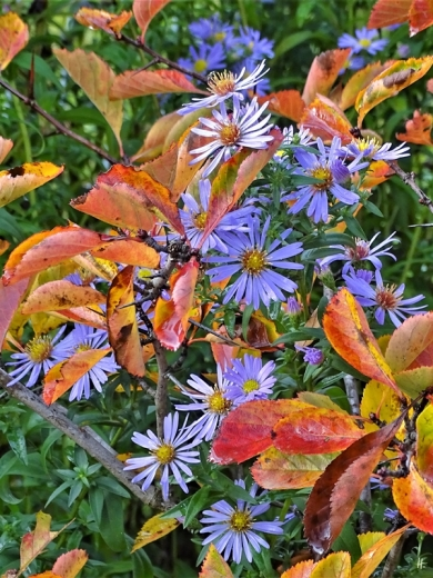 2019-10-11 LüchowSss Garten Glattblattastern (Aster novi-belgii) + Hahnendorn (Crataegus crus-galli)