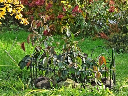 2019-10-11 LüchowSss Garten Japanischer Etagen-Schneeball Viburnum plicata 'Mariesii' (1)