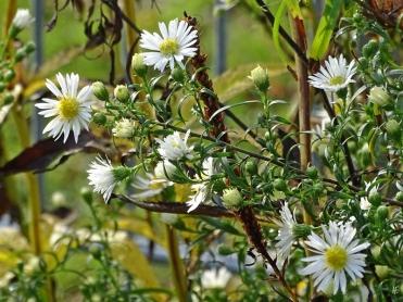 2019-10-11 LüchowSss Garten Myrten-Aster (Aster ericoides )