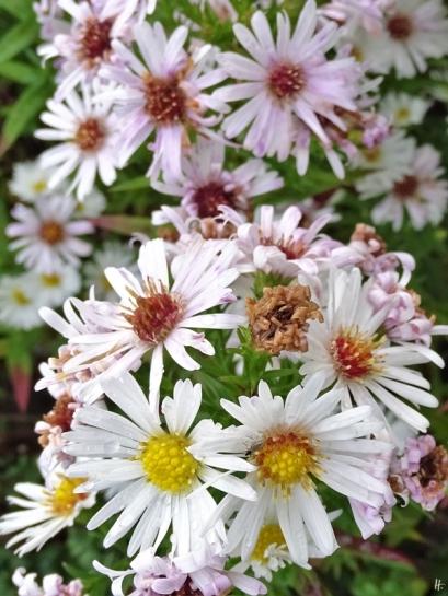2019-10-11 LüchowSss Garten weisse Glattblattaster (Aster novi-belgii)
