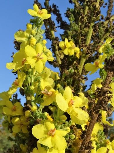 2019-10-15 LüchowSss Garten Kandelaber-Königskerze (Verbascum olympicum) (20)