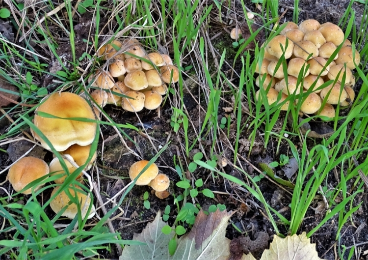 2019-10-15 LüchowSss Garten vage bestimmt als Schwefelköpfe (Hypholoma) auf de Eichenwurzeln (14)