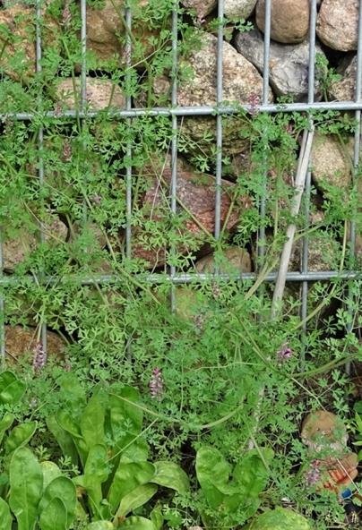 2019-10-17 LüchowSss Garten Gewöhnlicher Erdrauch (Fumaria officinalis) + Zwerg (3)