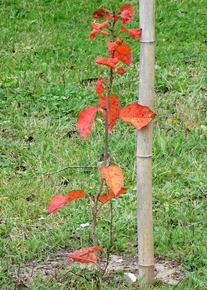 2019-10-17 LüchowSss Garten kleiner (vermutl. Sauer-)Kirschbaum