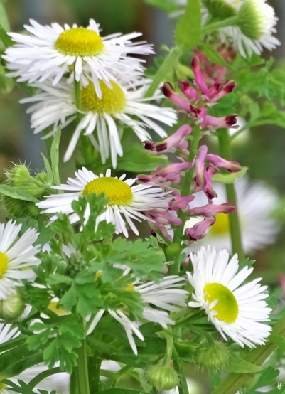 2019-10-18 LüchowSss Garten Gewöhnlicher Erdrauch (Fumaria officinalis) + Feinstrahl (Erigeron annuus)