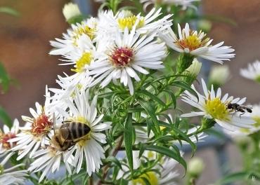 2019-10-18 LüchowSss Garten Myrtenastern (Aster ericoides) + Honigbiene (Apis mellifera) + Gemeine Keulenschwebfliege (Syritta pipiens)