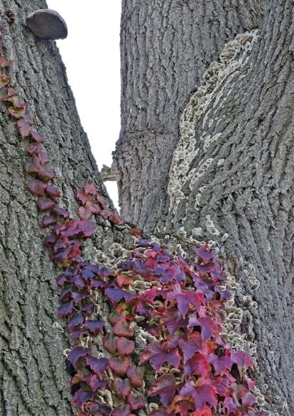 2019-10-18 LüchowSss Garten Pilze an der Eiche (1) Eichen-Feuerschwamm + Porlinge od. Trameten + Mauerkatze