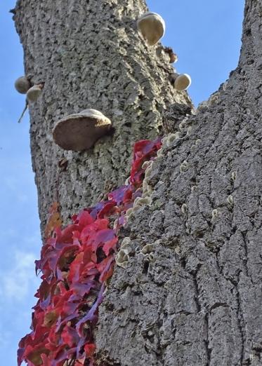 2019-10-18 LüchowSss Garten Pilze an der Eiche (5) Eichen-Zunderschwamm + vermutl. Porlinge od- Trameten + Mauerkatze
