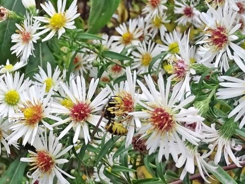 2019-10-21 LüchowSss Garten Myrtenastern - Novemberkraut (Aster ericoides) mit Wespe