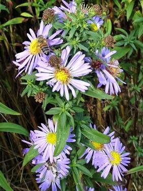 2019-10-22 LüchowSss Garten Belgische Glattblattastern (Aster novi-belgii) + Honigbienen (Apis mellifera)