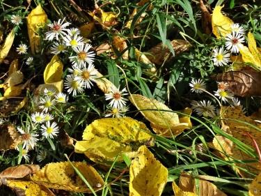 2019-10-22 LüchowSss Garten herbstgelbe Knorpelkirschbaum-Blätter (1)