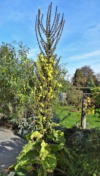 2019-10-22 LüchowSss Garten Kandelaber-Königskerze (Verbascum olympicum) (1)