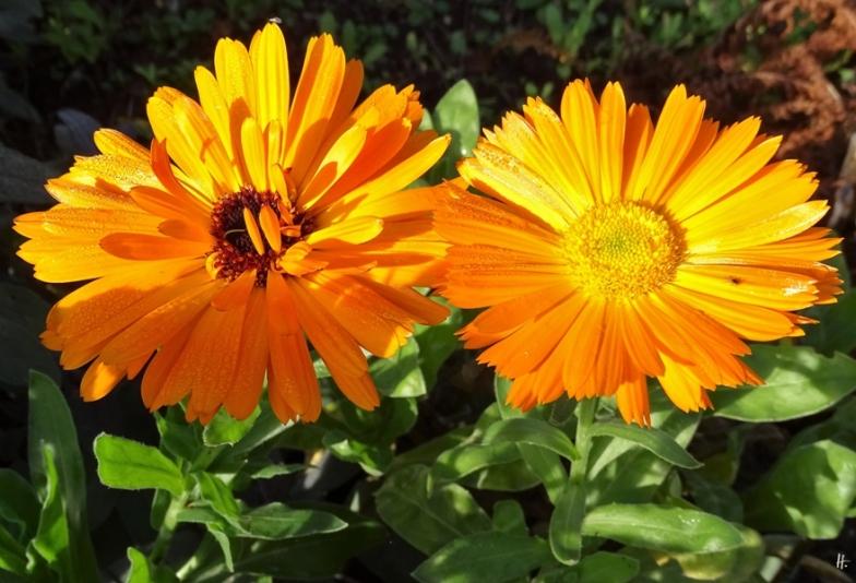 2019-10-22 LüchowSss Garten Ringelblumen (Calendula officinalis)