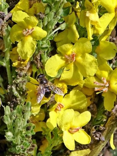 2019-10-23 LüchowSss Garten Kandelaber-Königskerze (Verbascum olympicum) + Keilfleck-Schwebfliege (Eristalis) (1)