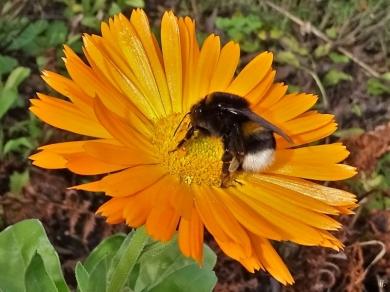 2019-10-25 LüchowSss Garten Ringelblumen (Calendula officinalis) + Dunkle Erdhummel (Bombus terrestris, w) (2)