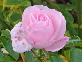 2019-10-25 LüchowSss Garten Rose 'Aspirin' in Rosa