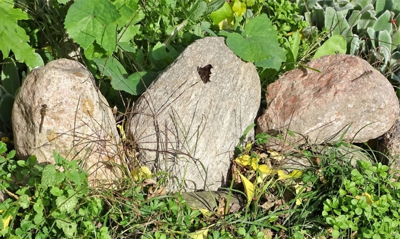 2019-10-26 LüchowSss Garten 2 Grosse Heidelibellen (Sympetrum striolatum) + 1 C-Falter (Polygonia c-album)