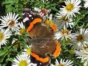 2019-10-26 LüchowSss Garten Admiral (Vanessa atalanta) + Novemberkraut (Aster ericoides)