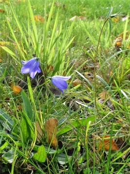 2019-10-28 LüchowSss Garten Rundblättrige Glockenblume (Campanula rotundifolia) (2)
