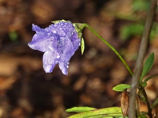 2019-10-29 LüchowSss Garten Pfirsichblättrige Glockenblume (Campanula persicifolia) (2)