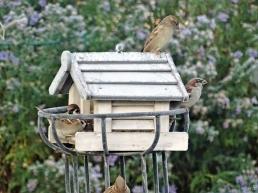 2019-10-31 LüchowSss Garten - Vogelhäuschen 1. Morgen um acht Haussperlinge (Passer domesticus) u. Feldsperlinge (Passer montanus) (1)