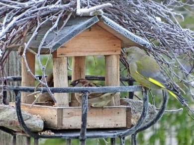 2019-10-31 LüchowSss Garten - Vogelhäuschen 1. Morgen um acht Haussperlinge (Passer domesticus) + Grünfink (Chloris chloris)