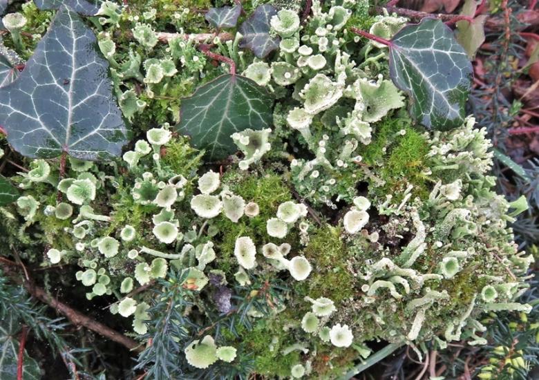 2019-11-01 LüchowSss Garten Trompeten-Becherflechte (Cladonia fimbriata)