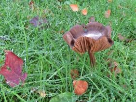 2019-11-01 LüchowSss Garten braune Pilze