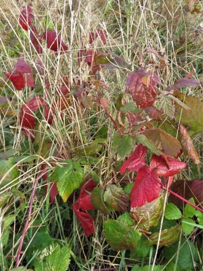 2019-11-01 LüchowSss Morgen-Spaziergang (8) Acker- bzw. Kratzbeeren-Blätter (Rubus caesius)