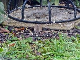 2019-11-05 LüchowSss Garten Brandmaus (Apodemus agrarius) unter Vogelhaus