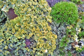 2019-11-09 LüchowSss Garten Gelbflechten und Moos auf Haselast
