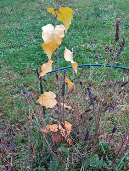 2019-11-09 LüchowSss Garten junge Birke, gelb
