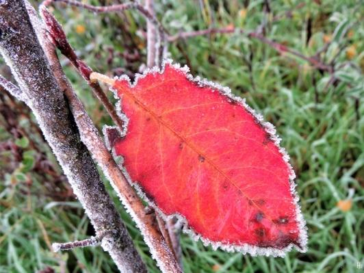 2019-11-11 LüchowSss morgens Garten Kupfer-Felsenbirne (Amelanchier lamarckii) (2)