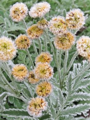 2019-11-11 LüchowSss morgens Garten Rainfarn-Blüten (Tanacetum vulgare)