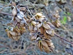2019-11-24 b. LüchowSss (2) Hopfen (Humulus lupulus)