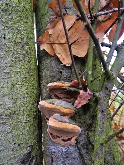 2019-11-25 b. LüchowSss Porlinge (Pflaumen-Feuerschwamm) an Schlehe mit hängengebliebenen Eichenblättern