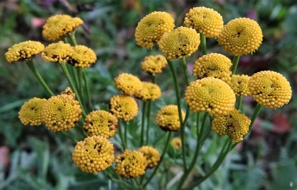 2019-11-27 LüchowSss Garten (10) Rainfarn-Blüten (Tanacetum vulgare)