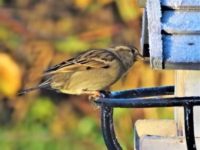 2019-11-30 LüchowSss Garten morgens 9h Vögel (1) Haussperlings-Weibchen (Passer domesticus)