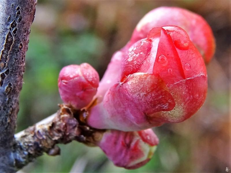 2019-12-02 LüchowSss Garten (20) Japanische Zierquitten-Knospen (Chaenomeles japonica)