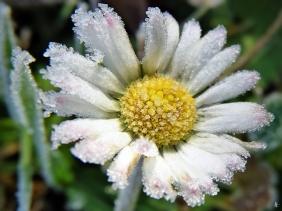 2019-12-05 LüchowSss Garten Gänseblümchen (Bellis perennis) (2)