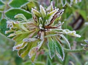 2019-12-05 LüchowSss Garten Grüne Rose 'Viridiflora' (3)